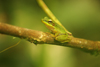 Gunung Mulu National Park, Sarawak, Borneo, Malaysia: Green tree frog on a branch - photo by A.Ferrari