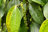 Skandis, Lubok Antu District, Sarawak, Borneo, Malaysia: coffee plant, near the Iban longhouse - photo by A.Ferrari