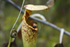 Bako National Park, Sarawak, Borneo, Malaysia: ant on a Pitcher plant - carnivorous plant - photo by A.Ferrari