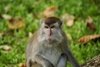Bako National Park, Sarawak, Borneo, Malaysia: female macaque - Macaca fascicularis - photo by A.Ferrari