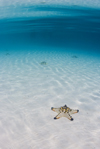 Pulau Mabul, Sabah, Borneo, Malaysia: starfish on white sandy bottom in clear blue water - photo by S.Egeberg