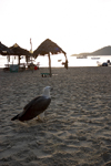 Malaysia - Pulau Perhentian / Perhentian Island: White bellied sea eagle observing - Haliaeetus leucogaster - photo by Jez Tryner