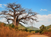Mbalamanja, Malawi: baobab by the dirt road - Adansonia digitata - photo by M.Torres