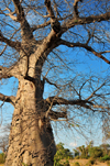 Nkopola, Malawi: under a baobab in the scrubland - Adansonia digitata - photo by M.Torres