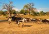 Nkopola, Malawi: cattle herd returns to the village - huts and baobabs - Adansonia digitata - photo by M.Torres