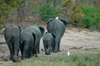 Liwonde National Park, Southern region, Malawi: group of elephants - Loxodonta africana - photo by D.Davie