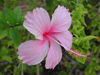 Maldives Pink hibiscus, Kuda Huraa (photo by B.Cain)