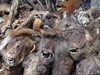 Mali - Bamako / BKO: monkeys' heads for sale at the market - witchcraft material - photo by A.Slobodianik