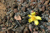 Mali - Bamako area - yellow flower growing on burned ground - photo by E.Andersen