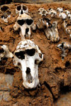 Bandiagara Escarpment, Dogon country, Mopti region, Mali: monkey skulls set into a building as hunting trophies - photo by J.Pemberton