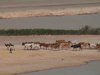 Mali - Gao region: Sahel - a shepherd and his herd of cows - photo by A.Slobodianik