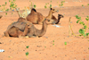 Nouakchott province, Mauritania: camels rest in the dunes of the Sahara desert - sand and Calotropis procera plants - photo by M.Torres