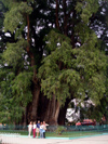 Mexico - Santa Mar�a del Tule (Oaxaca): Tule tree - has the largest trunk diameter of any tree in the world at 11.42 m - Montezuma cypress - Taxodium mucronatum -  Ahuehuete in Nahuatl - �rbol del Tule (photo by A.Caudron)