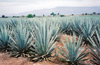 25  Mexico - Jalisco state - Tequila - agave field - UNESCO world heritage - Blue Agave, tequila agave, Agave tequilana - succulent plant - photo by G.Frysinger