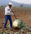 33  Mexico - Jalisco state - tequilla - agave - the piña is formed as the leaves are cut - photo by G.Frysinger