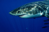 Guadalupe Island, Baja California, Mexico: Great white shark - Carcharodon carcharias - head - side view - lamniform shark by D.Stephens