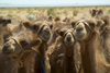Mongolia - Gobi desert: herd of Bactrian camels - Camelus bactrianus - photo by A.Summers