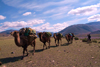 Mongolia - Camel train - caravan - Camelus bactrianus - photo by A.Summers