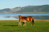 Khorgo-Terkhiin Tsagaan Nuur NP, Mongolia: horses - foal with its dam - nursing - White Lake - photo by A.Ferrari