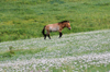 Khustain Nuruu National Park, Tov / Tuv province, Mongolia: Mongolian Wild Horse, or Takhi on a field of flowers - photo by A.Ferrari