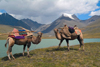 Mongolia - Turgen mountains - Altai: Bactrian camels at Blue lake - Camelus bactrianus - photo by A.Summers