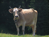 Montenegro - Crna Gora - Durmitor national park: attentive cow - photo by J.Kaman