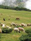 Montenegro - Crna Gora - Komovi mountains: Katun Štavna - flock of sheep - photo by J.Kaman