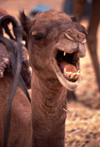 Morocco / Maroc - Merzouga: screaming camel - photo by F.Rigaud