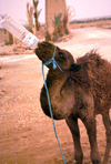 Morocco / Maroc - Erfoud (Meknès-Tafilalet region): camel drinking from a bottle - photo by F.Rigaud