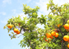 Morocco / Maroc - Rabat: orange-tree - photo by J.Kaman