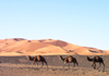 Morocco / Maroc - Erg Chebbi: camels in the Sahara - photo by J.Kaman