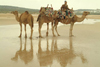 Morocco / Maroc - Mogador / Essaouira: Jimi's camels on the beach - photo by J.Banks