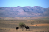 Morocco / Maroc - Ait Benhaddou: camels having a snack - photo by F.Rigaud