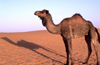 Morocco / Maroc - Merzouga: a camel and its shadow - photo by F.Rigaud