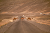Morocco / Maroc - Imilchil: camels cross the road - photo by F.Rigaud