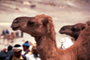 Morocco / Maroc - Imilchil: camel - close-up photo - photo by F.Rigaud