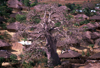 Mozambique / Moçambique - Pemba: towering baobab tree and surrounding village / embondeiro e aldeia - photo by F.Rigaud