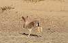 Namibia: Desert Hare, Skeleton Coast - photo by B.Cain