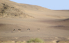 Namibia: Five ostriches on desert at Skeleton Coast - photo by B.Cain