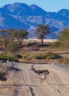 Namibia: Springbok galloping across road - Antidorcas marsupialis, mountains in back, near Sossusvlei, Hardap region - photo by B.Cain