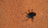 Namib Desert - Sossusvlei, Hardap region, Namibia: sand beetle - Namib-Naukluft National Park - photo by Sandia