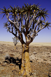 Erongo region, Namibia: Quiver yree, typical of Namibia - on the way to Swakopmund - photo by Sandia