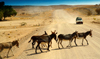 Etosha Park, Kunene region, Namibia: donkeys cross a dirt road - photo by Sandia