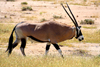 Etosha Park, Kunene region, Namibia: Oryx / Gemsbok - Oryx gazella - photo by Sandia