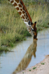 Etosha Park, Kunene region, Namibia: giraffe drinking at a waterhole - Giraffa camelopardis - photo by Sandia