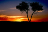 Namibia - Etosha Park, Kunene region: sunset - tree silhouette - photo by G.Friedman