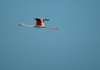 Africa - Namibia - Walvis Bay: flamingo in flight - photo by J.Banks