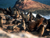 Namibia - Luderitz - Dias Point: seal colony - photo by G.Friedman
