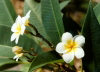 Nauru: island vegetation - Plumeria or Frangipani , Tipani, Pua , Temple Flower - photo by G.Frysinger
