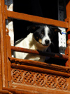 Kathmandu, Nepal: a dog looking outside - wooden window frame - photo by E.Petitalot